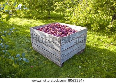 A bin of freshly picked apples in an orchard in early morning. - stock photo