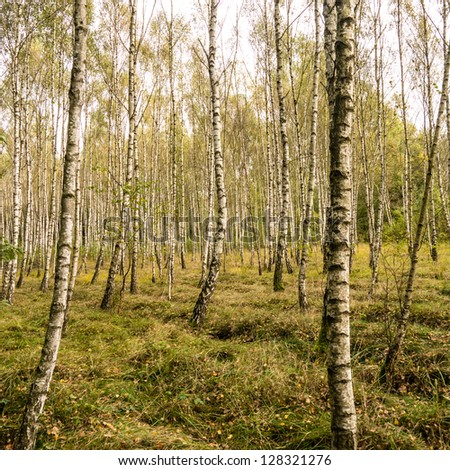 a birch forest in late summer