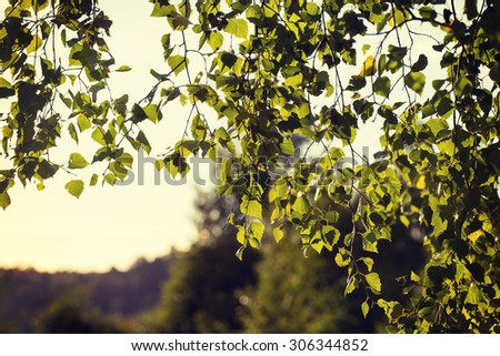 A birch leaves against the sun. Fresh leaves try to tell that the summer is coming after all. Image taken in Finland. Image also has a vintage effect. - stock photo
