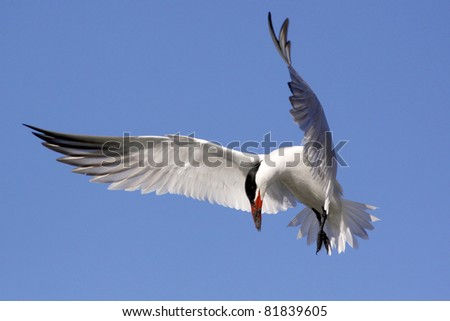 a bird called a  caspian tern hoovering in the sky looking down for fish with wings wide open - stock photo