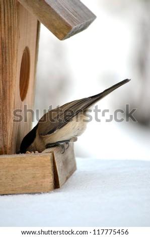 A bird Chickadee in winter eating from birdhouse feeder. - stock photo