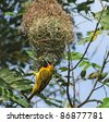 "a bird named ""Weaver Bird"" building on its nest in Uganda (Africa) - stock photo"