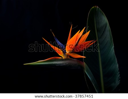A bird of paradise flower - stock photo