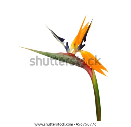 A Bird of Paradise flower isolated on a white background - stock photo