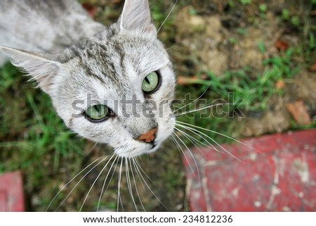 A birds eye perspective of a grey cat sitting on grass and looking upwards. - stock photo