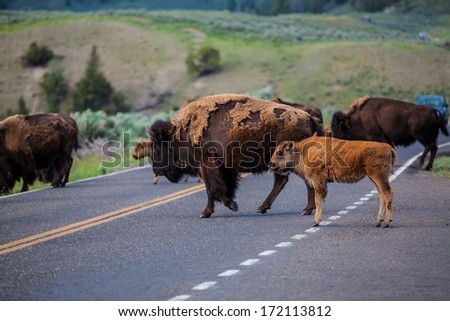 A bison and its calf crossing the road in Yellowstone National Park, Wyoming - stock photo