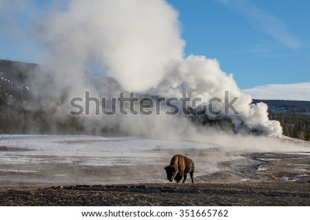 a bison walking in front of a massive steaming geyser in yellowstone national park - stock photo