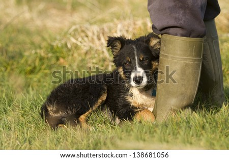 A black and white border collie puppy laid on the grass beside his masters wellington boot - stock photo