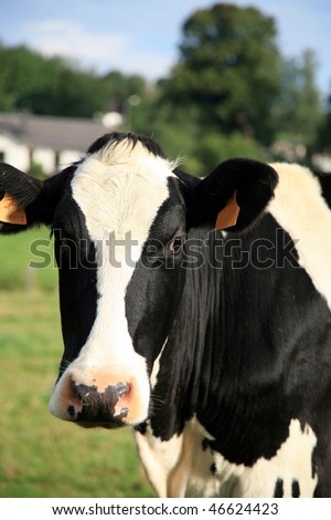 A black and white dairy cow. A close up of a cow's head. - stock photo