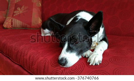 A Black and White Dog Sleeping on a Red Couch While Hiding her Treat Under her Body