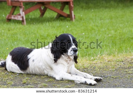 A black and white English Springer Spaniel dog - stock photo