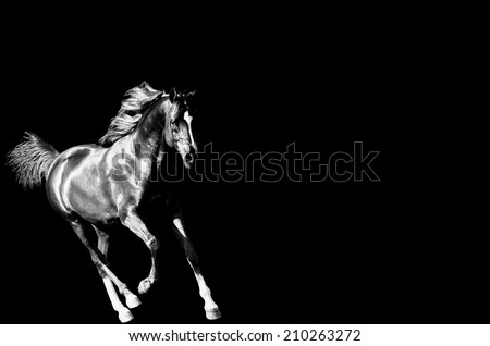 a black and white image of a arabian horse cantering on a isolated background - stock photo