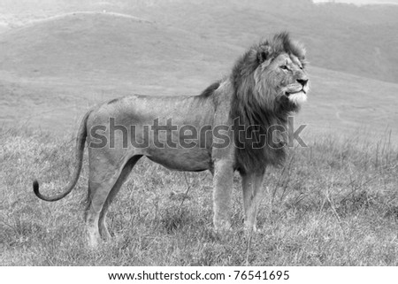 A black and white image of a magnificent male lion