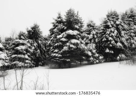 A black and white image of snow covered evergreen trees on a cold winter day in Connecticut. - stock photo