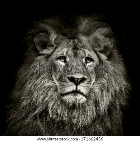a black  and white lion portrait on black background