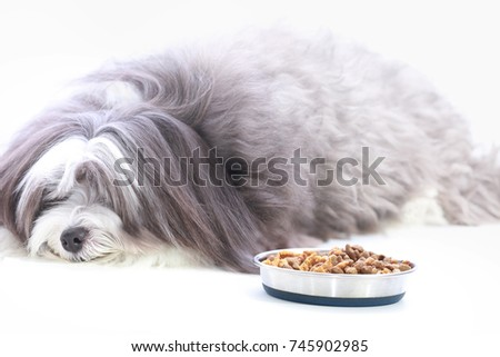 A black and white long haired dog refusing to eat his food.