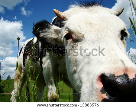 A black and white milk cow with a bright blue sky at the background