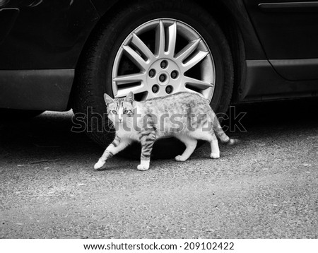 A black and white photo of a cat sneaking next to a car - stock photo