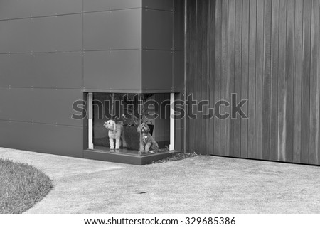 A black and white photograph of a white dog and a brown dog waiting in front of a low window at a house with timber and aluminium cladding, this with a fine art filter - stock photo