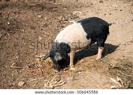 a black and white pig feeds on corn.