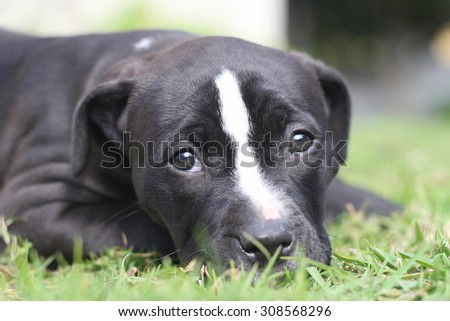 A black and white pitbull / pit bull / pit-bull puppy in this portrait photo. - stock photo