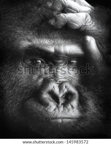 A black-and-white portrait of a gorilla in a zoo. - stock photo