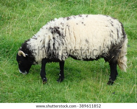 A black and white sheep eating grass