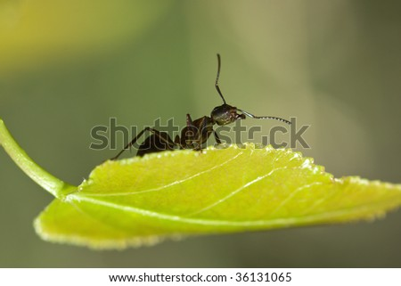 A Black Ant standing on a Leaf.