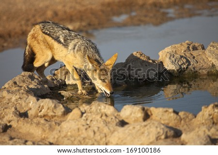 A Black backed Jackal (Canis mesomelas) drinking at a waterhole in Kgalagadi Transfrontier Park, South Africa. - stock photo