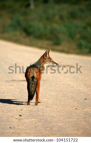 A black backed Jackal in this portrait taken from behind,while he was hunting guinea fowl. Taken in Addo elephant national Park,eastern cape,south africa - stock photo