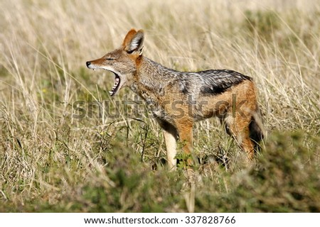 A black backed Jackal in this side on landscape portrait of this unique mammal looking into the camera. Taken in Addo elephant national Park,eastern cape,south africa - stock photo
