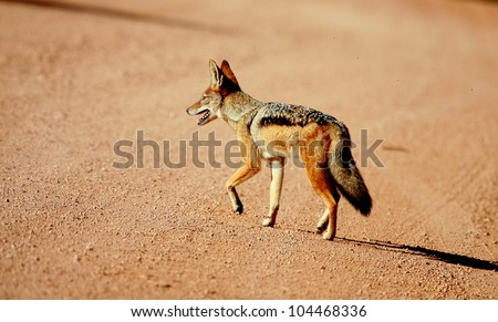 A black backed jackal walking past in this close up side profile portrait taken in good light. Taken in Addo elephant national park,eastern cape,south africa - stock photo