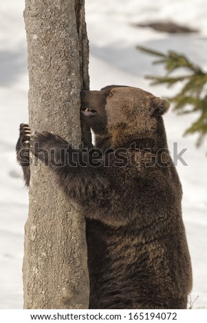A black bear brown grizzly portrait in the snow while climbing on a tree - stock photo