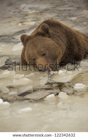 A black bear brown grizzly portrait in the snow while eating ice - stock photo