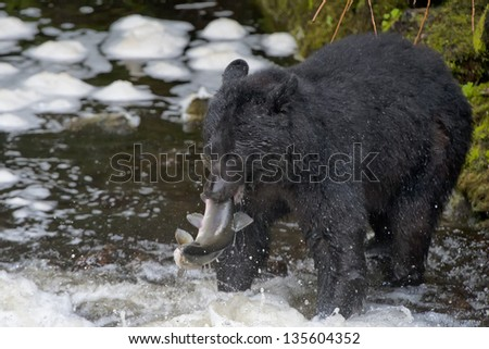 A black bear catching a salmon in Alaska river