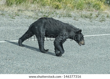 A black bear crossing the road in British Columbia - stock photo