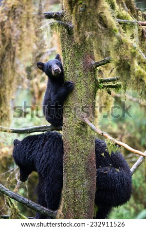 A black bear cub (coy) hangs onto a tree while his mother sits on branches below him in the rainforest - stock photo