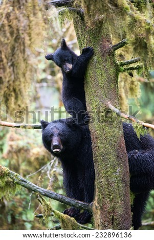 A black bear cub (coy) plays on a branch in a tree above his mother, who is also perched in the tree - stock photo
