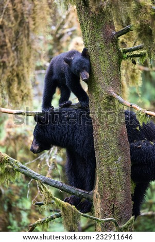 A black bear cub (coy) standing on a branch in a tree above his mother, looking at photographer - stock photo