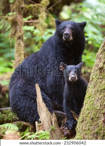 A black bear cub (coy) takes a break from climbing on a tree to investigate the photographer,  in the rainforest with mother close by - stock photo