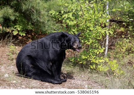 A black bear sow sits in a forest clearing on a summer days