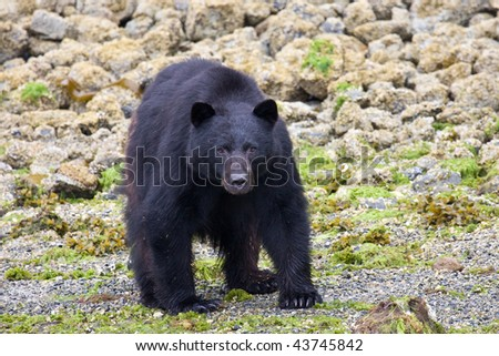 A black bear standing looking at the photographer. Taken near Tofino, Canada - stock photo