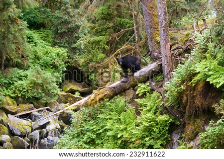 A black bear walks cautiously on a fallen tree, with a huge drop below - stock photo