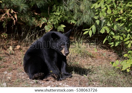 A black bear yearling sitting in a forest clearing