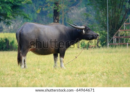 a black buffalo in a green field - stock photo