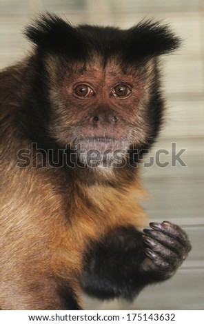 A black cap Capuchin monkey has sad eye, perhaps because he wishes he were in the wild and not in captivity. - stock photo