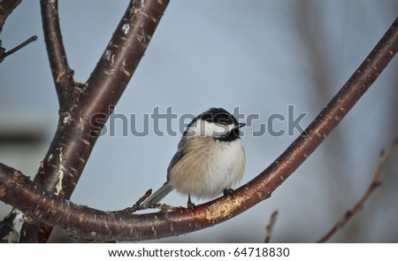 A Black-capped Chickadee perches on a branch in winter in Ontario, Canada. - stock photo