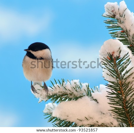 A Black- capped Chickadee (Poecile atricapillus) on a snowy spruce branch. - stock photo
