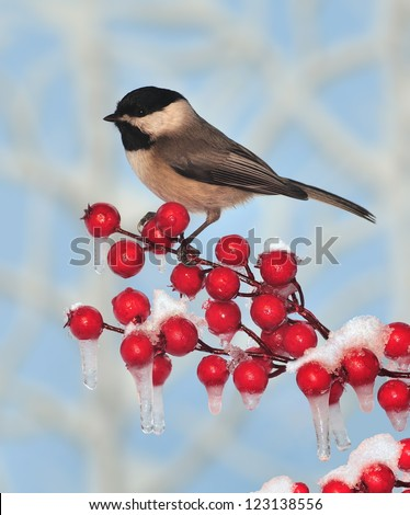 A Black- capped Chickadee (Poecile atricapillus) on an icy crabapple branch. - stock photo