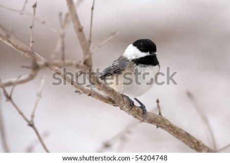 A black-capped chickadee (poecile atricapillus) perched on a tree branch. - stock photo